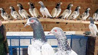 استاد محترم جناب حبیب مغل صاحب آف لاہور کے ساتھ پروازی کبوتروں کے متعلق معلومات حاصل کرتے ہوئے انہوں