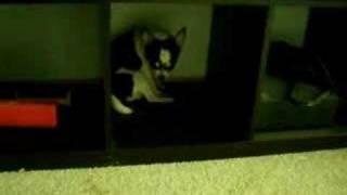Pouting Chihuahua