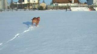 Dogue De Bordeaux Running In The Snow