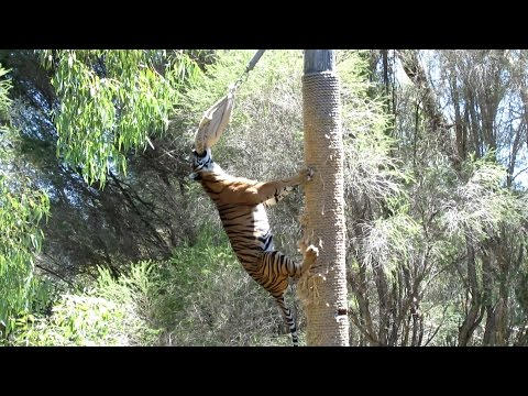 Sumatran Tiger Climbs 4-5 Metre Pole to Eat Dinner