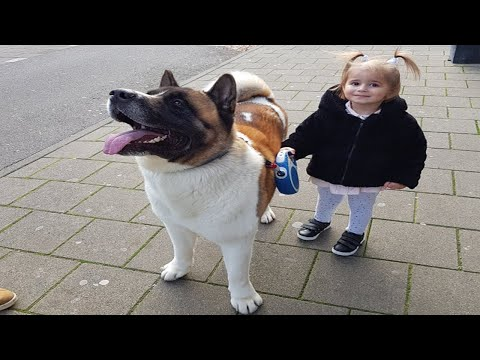 Japanese Dog Akita Sees His Owner After A Long Time!! Amsterdam
