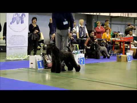 Kerry Blue Terrier Show, National Championship 2016_part 6  (best males competition)