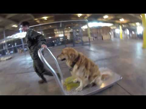 Oshie The Golden Retriever's Day With The Marines