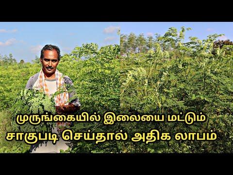 முருங்கை இலை சாகுபடி பற்றி யாரும் சொல்லாத தகவல்கள் || moringa leaves cultivation || uzhavan magan