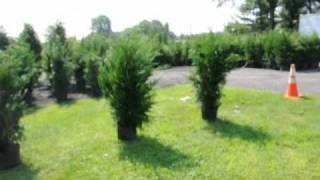 Effects of Growing Leyland Cypress in shade