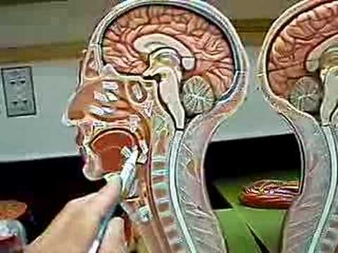 Nose @ Throat Respiratory Anatomy Model - YouTube