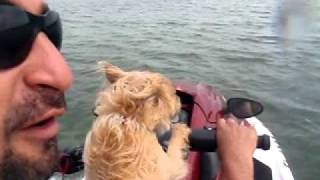 Shoei, The Cairn Terrier Dog. Going Fast On The Jet Ski... A Born Rider