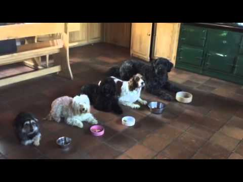 Dogs waiting for command to eat