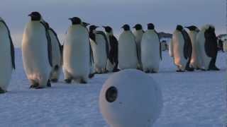 コロコロコロン。雪玉に化けたスパイカメラが写すコウテイペンギンの世界