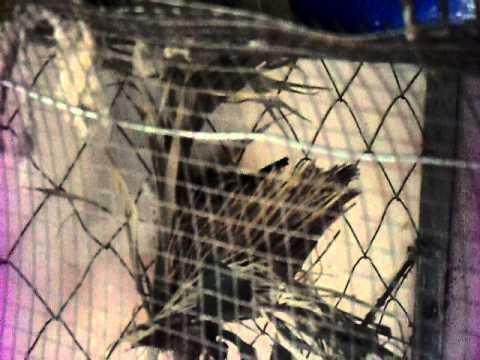 Cria de cardenal amarillo en cautiverio youtube for Cria de peces en cautiverio