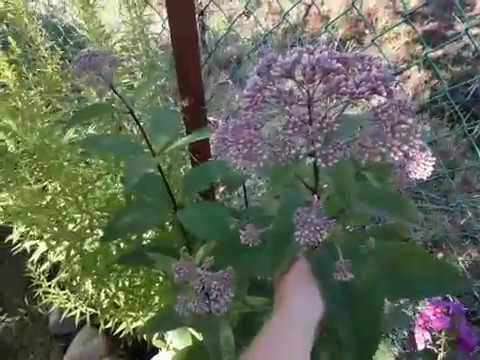 Три беспроблемных цветущих растения/Солидаго/Посконник/Дербенник