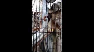 Burung Greja Gacor Cocok Untuk DIjadikan Masteran