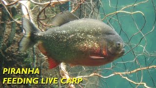 Piranha Feeding Time - Live Carp Gone in 2 Minutes