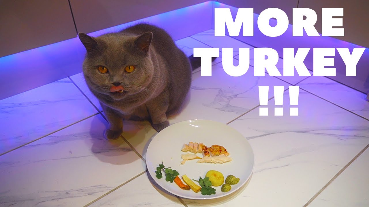 Download Christmas Turkey For A Hungry Cat In Hd Mp4 3gp Codedfilm