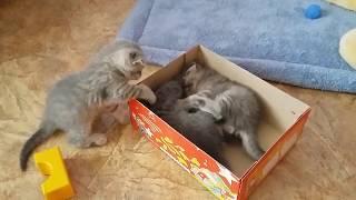 Котята играют в коробке