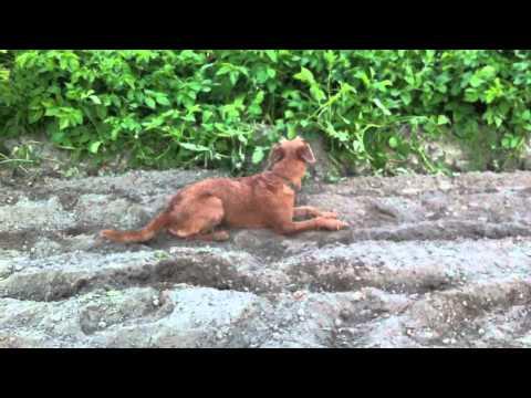 Irish Terrier oder Erdferkel?