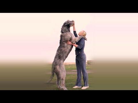 Ирландский волкодав: всё о породе - рассказ владелицы собаки