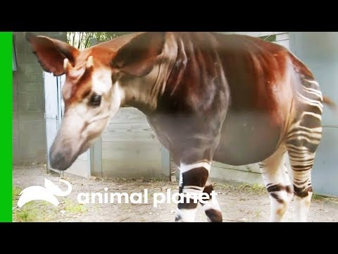 This Amazing Animal Looks Like A Cross Between An Antelope, A Giraffe, and A Zebra! | The Zoo