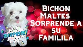 Bichon Maltes sorprende a su Familia 👪