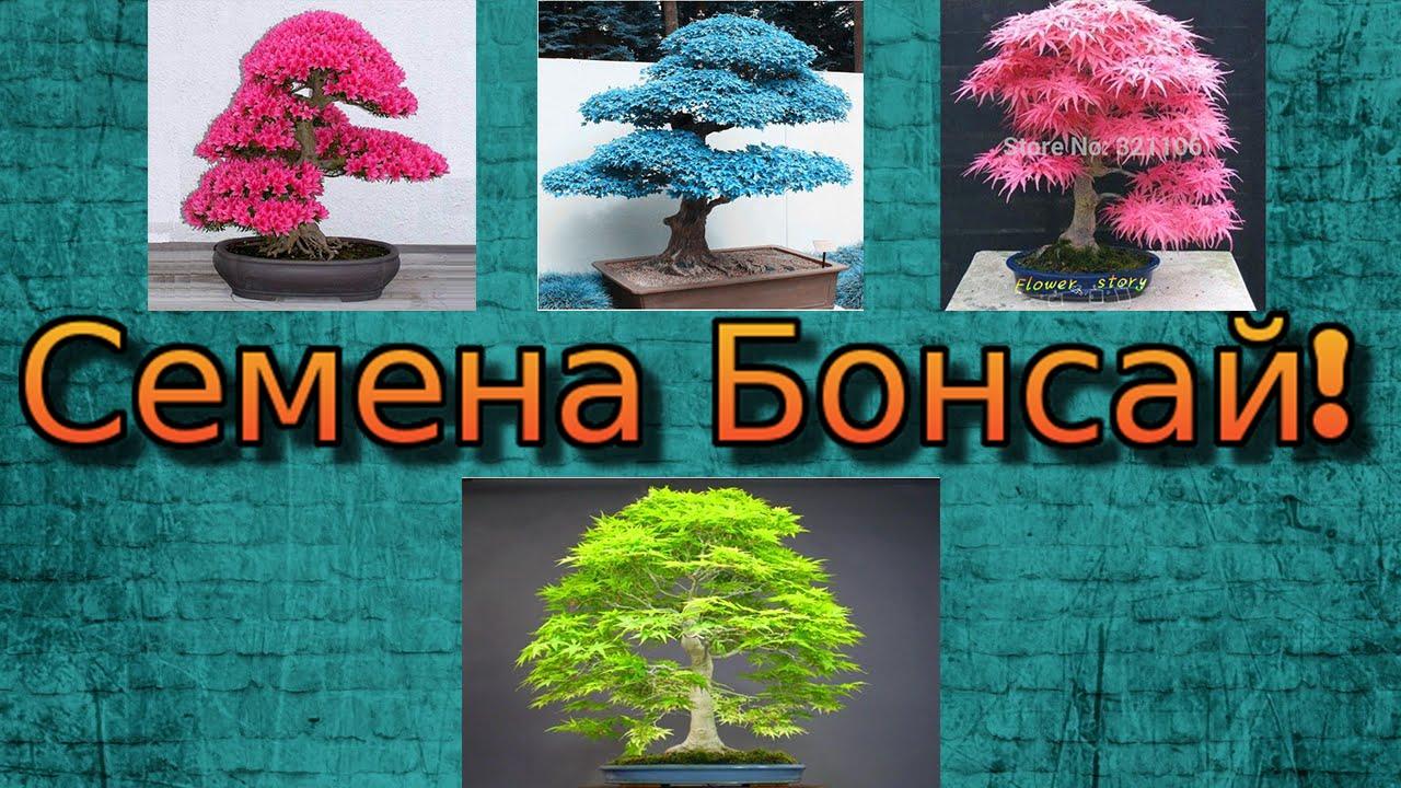 клен бонсай как вырастить из семян