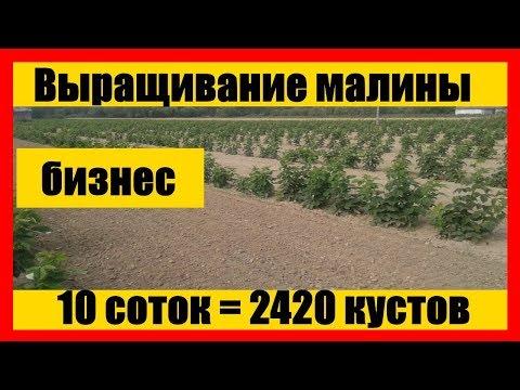 Схема посадки малины || Выращивание малины как бизнес || growing raspberries