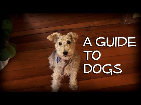 A Guide To Dogs: The Lakeland Terrier