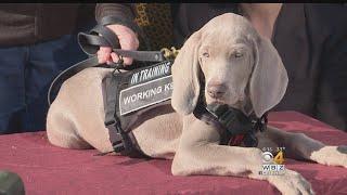 ボストン美術館の最終兵器は犬。美術品を害虫から守る為に雇われたワイマラナーの子犬(アメリカ)