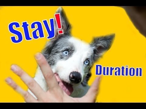 Dog Training 101: How to teach your dog to Stay (duration)