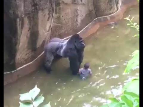 gorilla harambe was shot to save a kid in cincinnati zoo hd youtube