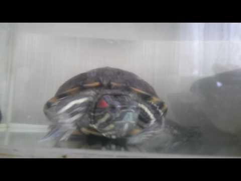 Сколько живут красно ухие черепахи?