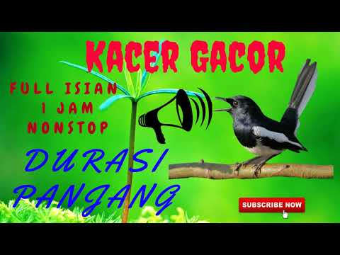 Masteran Kacer Full Isian Jernih Durasi Panjang Mp3 | Masteran Burung Kacer Full Isian Mp3