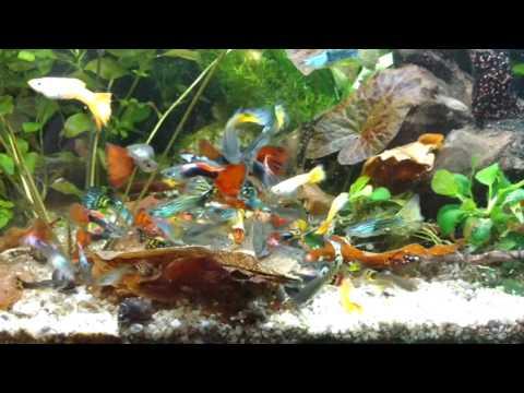 Мои рыбки ГУППИ самцы. АКВАРИУМ Селекция. Июнь 2016.