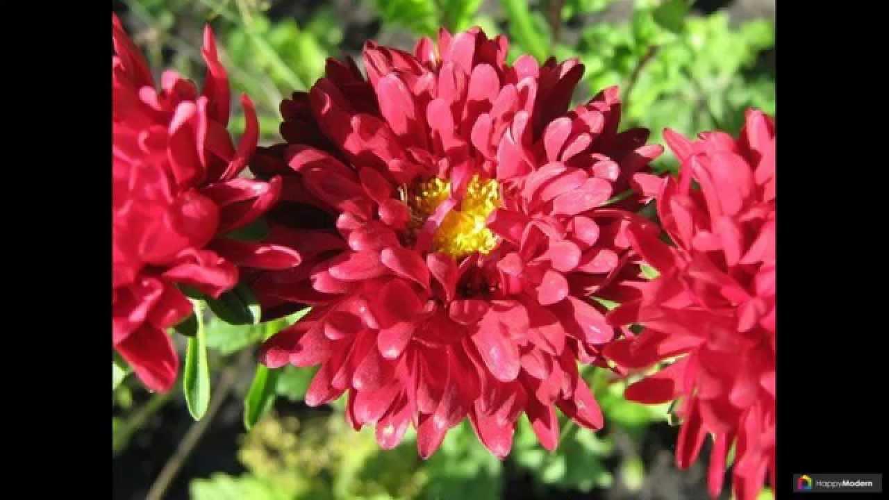 Цветы астры: 44 сорта