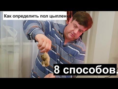 Как определить пол цыпленка 8 способов.