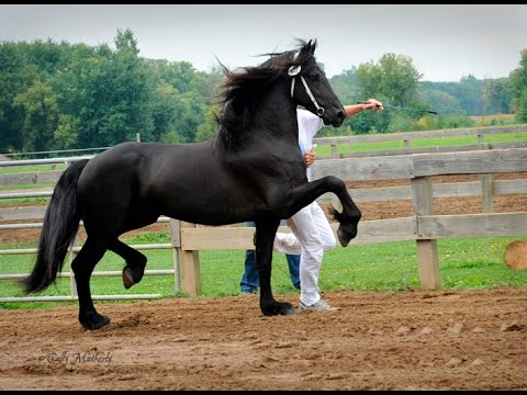Friesian Horse Keurings Be There Youtube