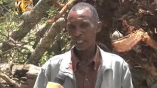 Residents of Mathira claim fallen Mugumo tree symbolises end of former Gov. Gachagua