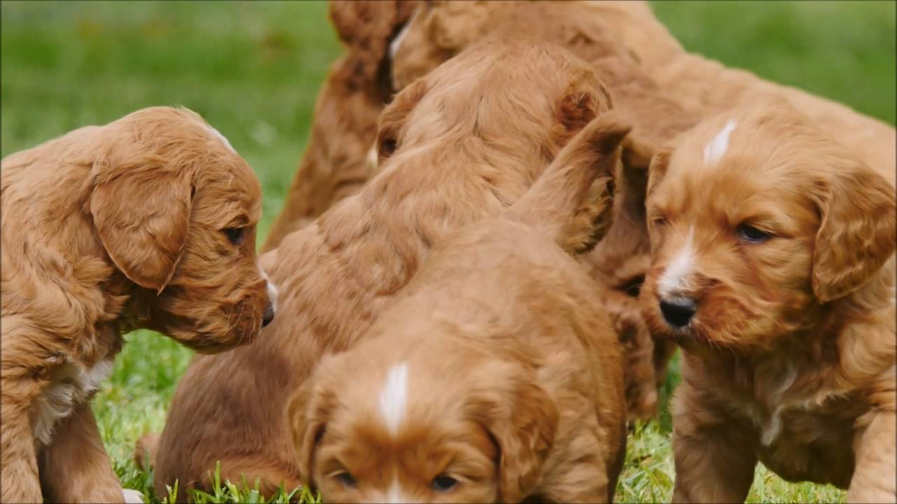Groodle Puppies At 5 Weeks Old Youtube