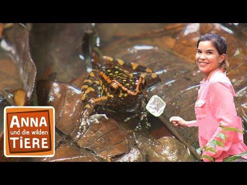 Welcher Frosch Quakt Nachts Im Dschungel Doku Reportage Fur Kinder Anna Und Die Wilden Tiere Youtube