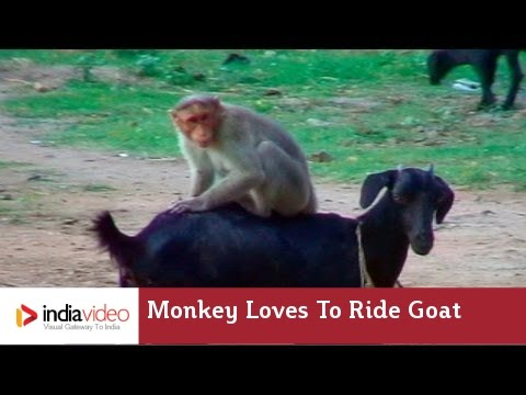 A simian goat rodeo in Chennai