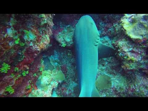 Nurse Shark Cayman Trench 2016