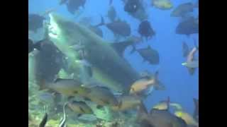 A Cage Free Scuba Dive With Tiger, Bull, Nurse and Reef Sharks With Beqa Adventure Divers in Fiji