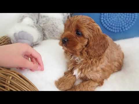 Isla's Toy Cavoodle Boy 2781 - Pocket Puppies