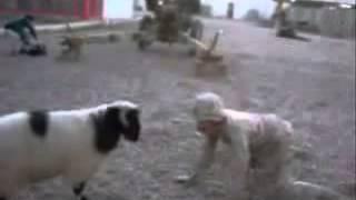 баран vs чурка  l приколы с животными