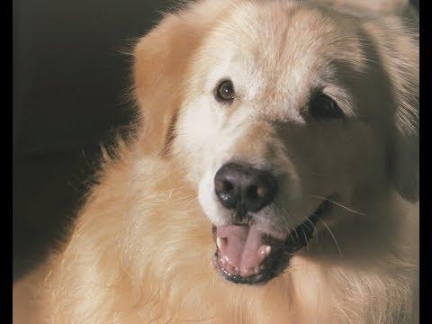 感人微電影《全心為你 Devoted To You》淚崩了~~這隻狗狗做的事,讓人淚崩了!