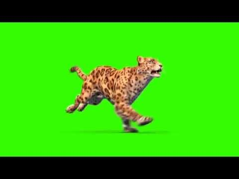 Green Screen Jaguar Feline Animals Run Attack - Footage PixelBoom