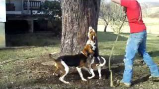 Westvirginia Coon Dog Training