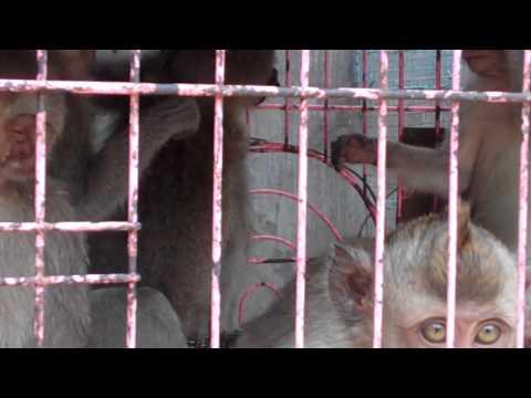 monkeys for sale..