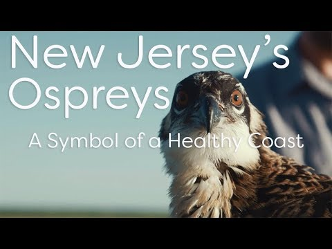 Osprey Conservation, Osprey Platforms, Osprey Photos - New Jersey