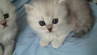 Kaerik RagaMuffin Kittens Diamonds are Forever