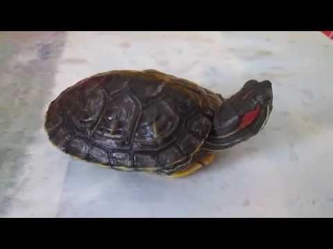 Краснухая черепаха.